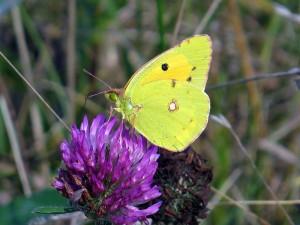 Gele Luzerne Vlinder aug 2014