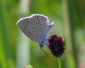 Pimpernelblauwtje juli 2014  © Kees Bode